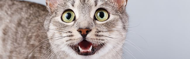A guide to cat dental care   RSPCA Pet Insurance
